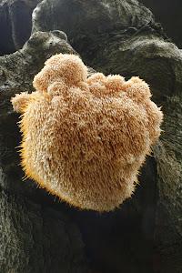 Lions Mane fungus