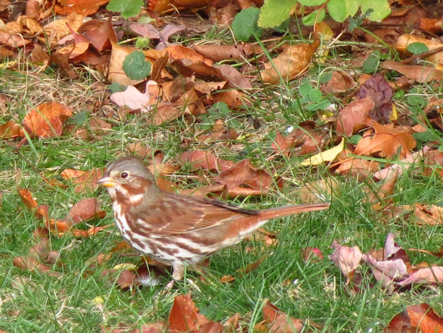 fox sparrow with leaves