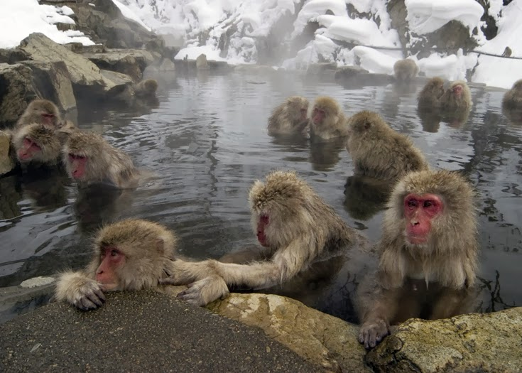 Meet the Snow Monkeys of Japan
