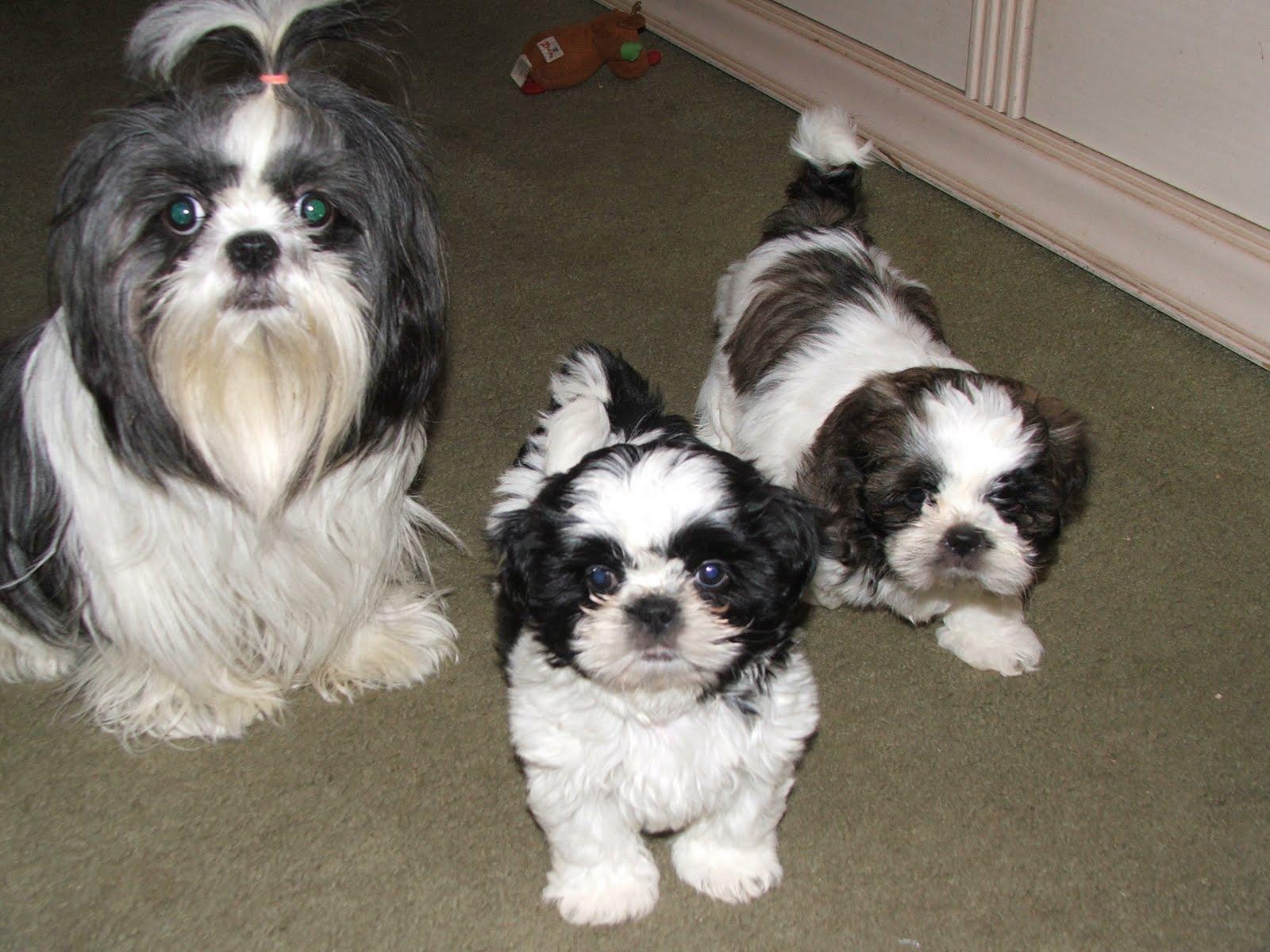 cute puppy pictures   shih tzu puppies   shih tzu puppies ...