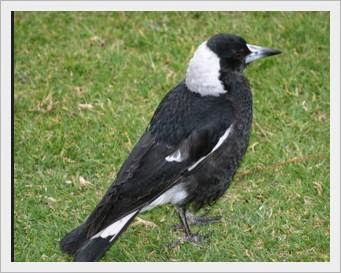 merawat burung jagal agar pandai berkicau