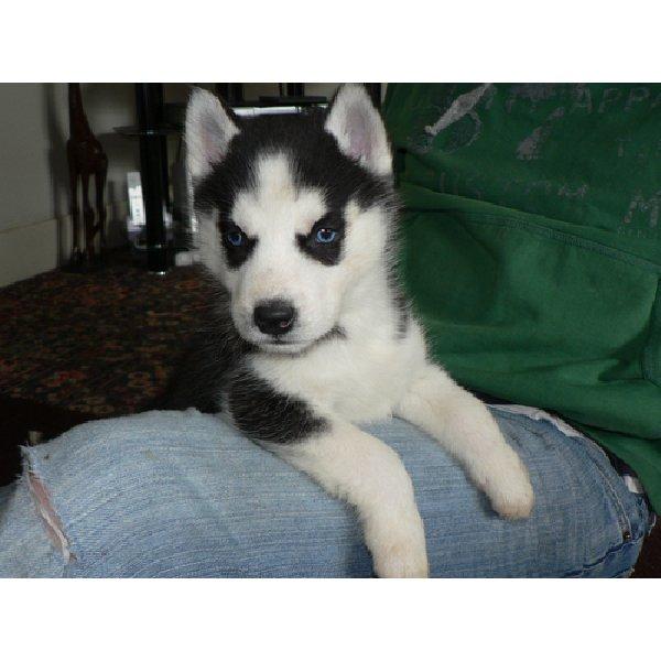 white siberian husky puppies - photo #32