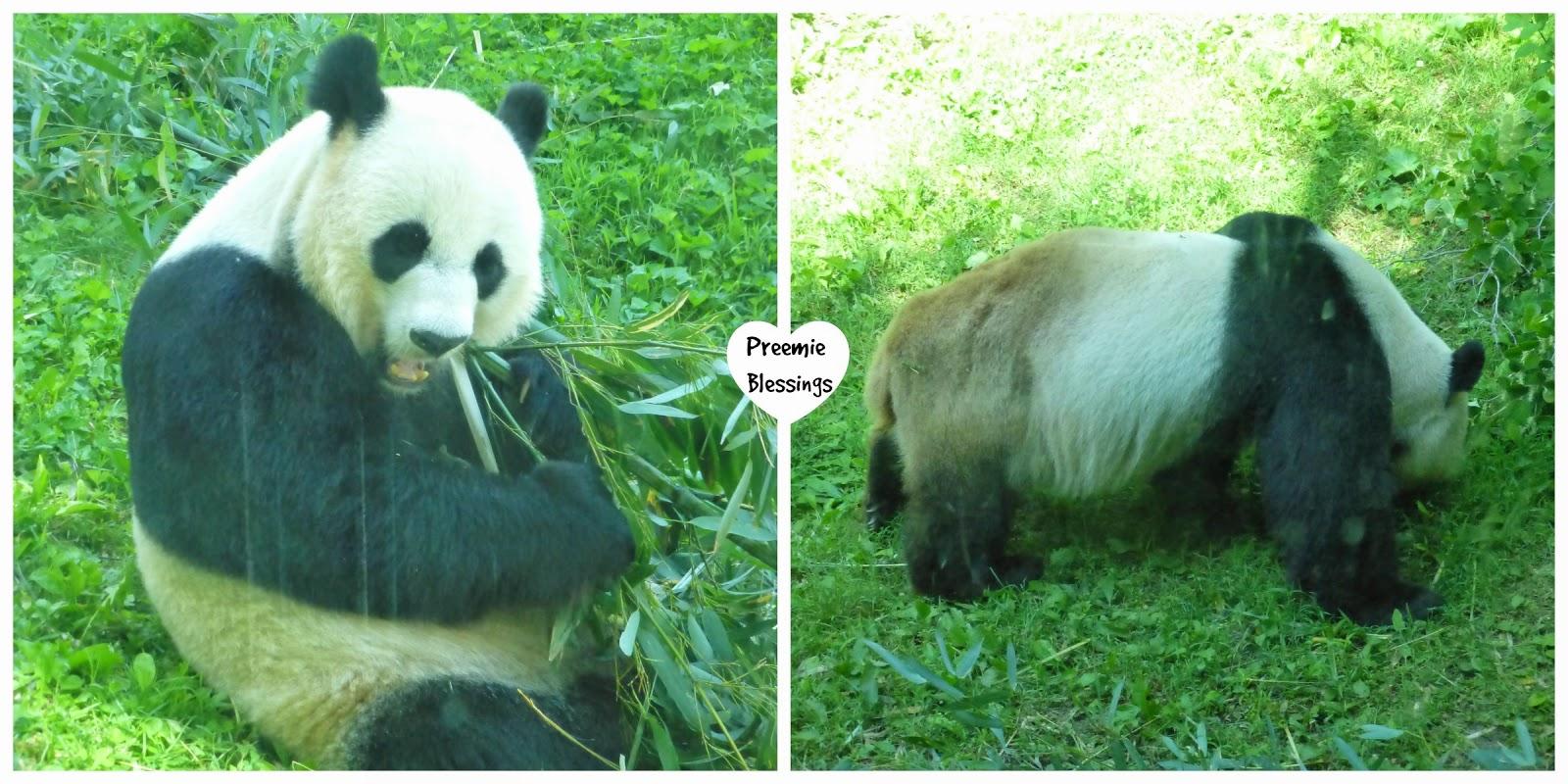 panda, National Zoo, Mei Xiang, Tian Tian