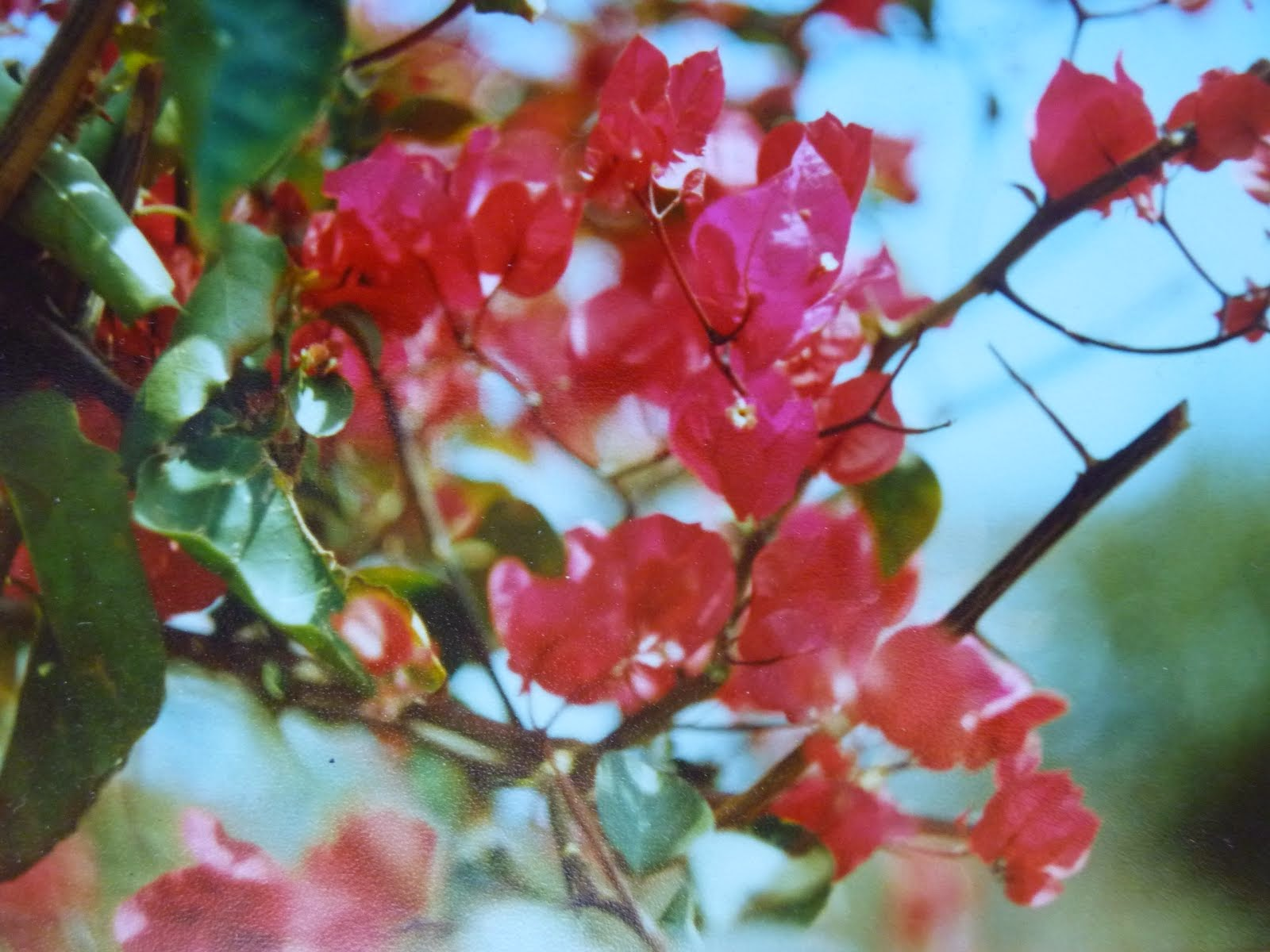 Bougainvillea Dancing