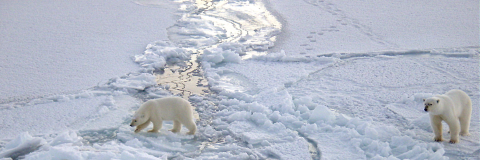 Polar bears 280 miles from the North Pole