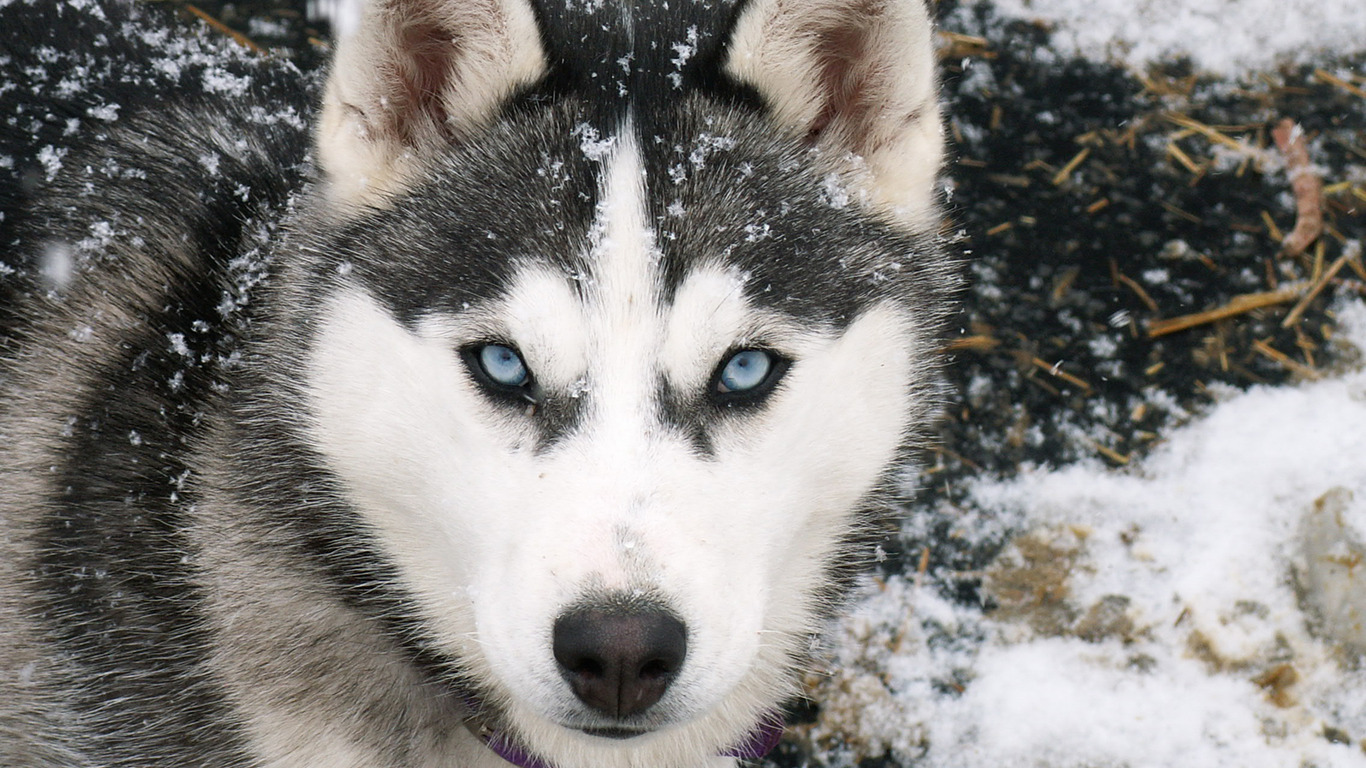 Siberian Husky Wolf HD Wallpapers Download Free Wallpapers in HD for