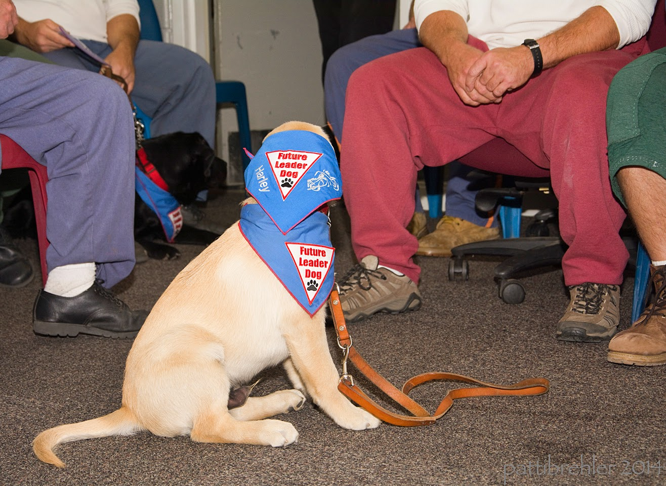 A young golden retriever/lab mix puppy is sitting on a carpted floor, with his head turned away from the camera. His leash is hanging loose on the floor. He has the blue Future Leader Dog bandana around his neck, and a second blue Future Leader dog bandana over his head. In the background are the legs of several men sitting in chairs.
