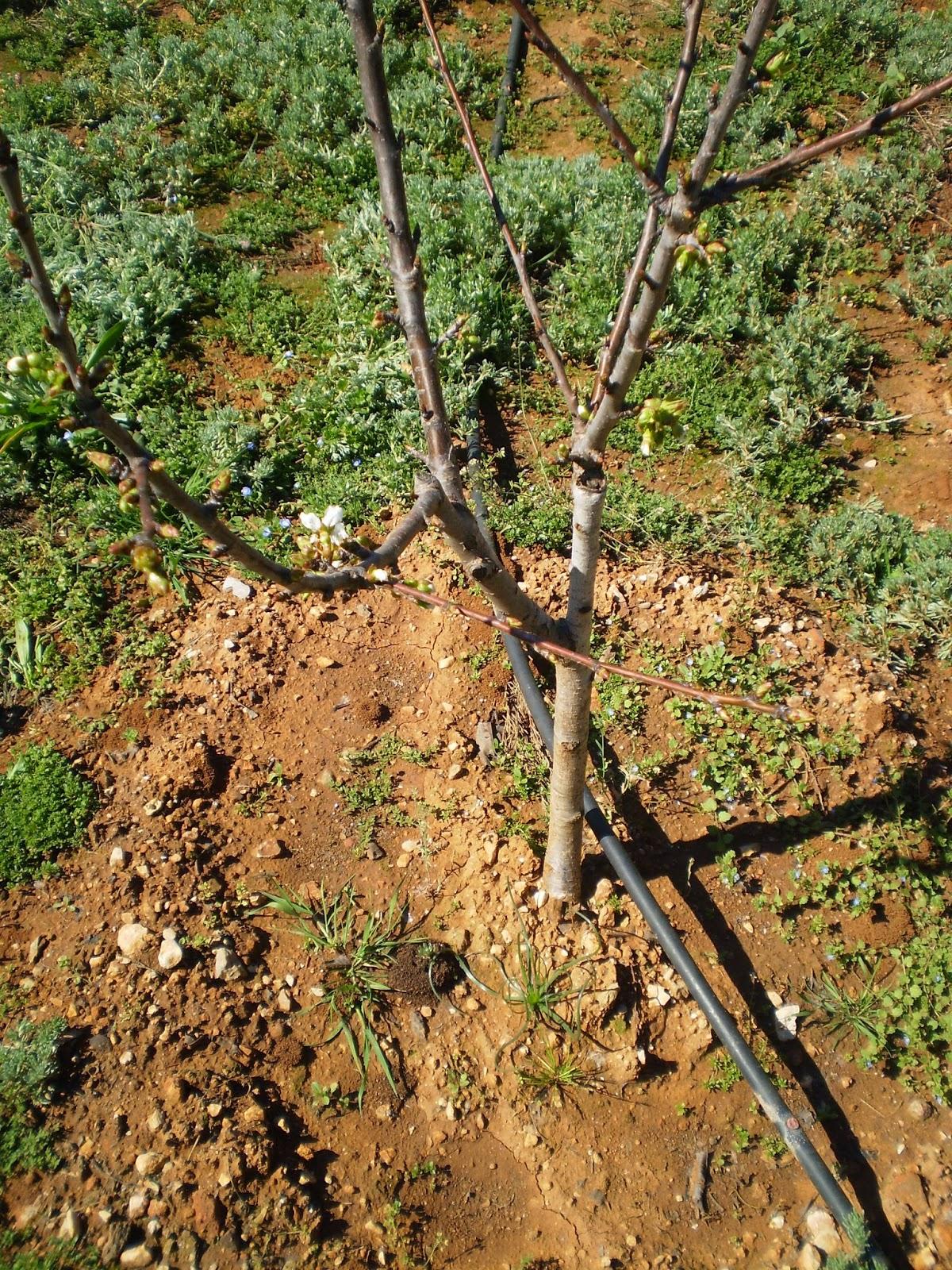 Cultivar el huerto casero poda del cerezo en huerto casero - Poda del cerezo joven ...