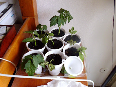 Tomato cuttings 2