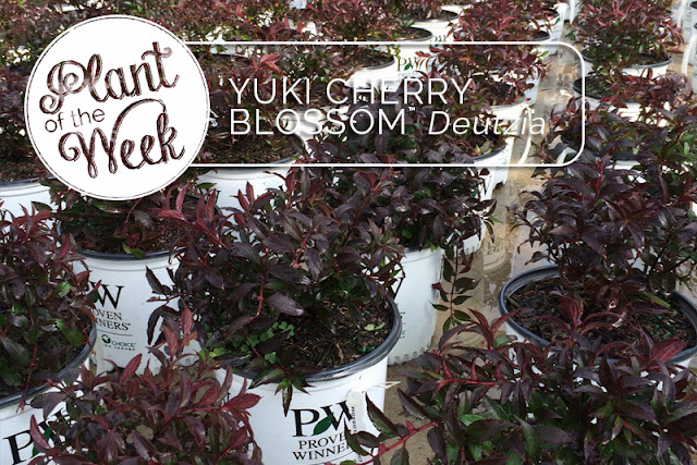 Plant of the Week: Yuki Cherry Blossom Deutzia