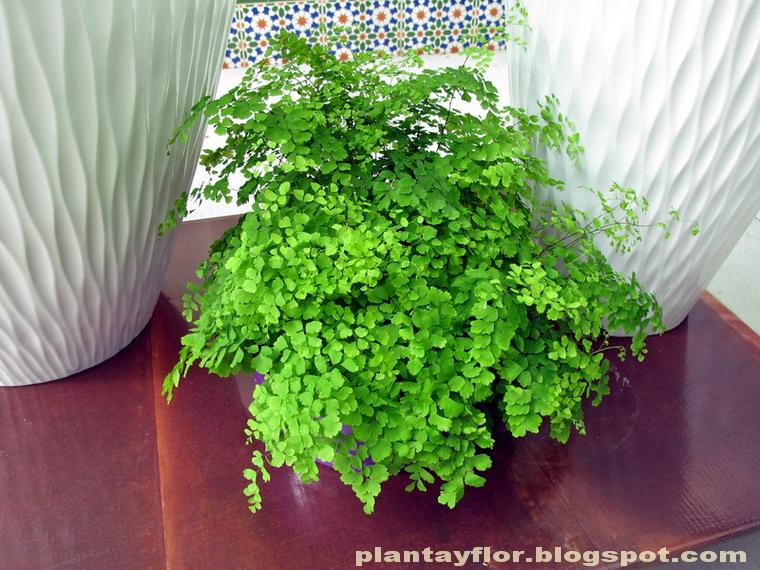 Plantas y flores adiantum capillus veneris - Variedades de plantas de interior ...