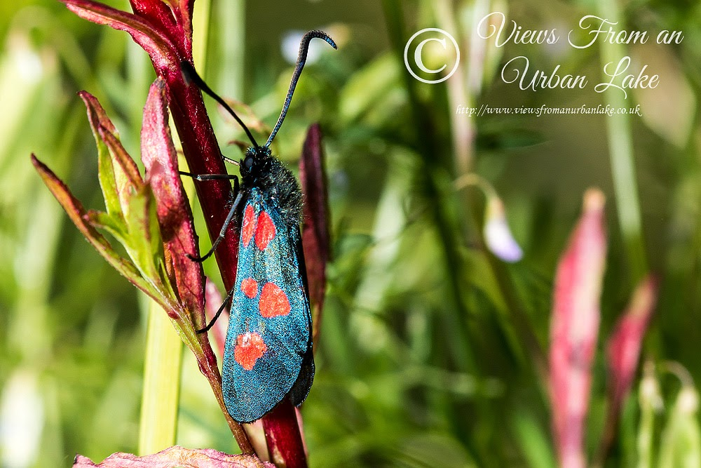 Narrow-Bordered 5 Spot Burnet (I think) - Lodge Lake, Milton Keynes
