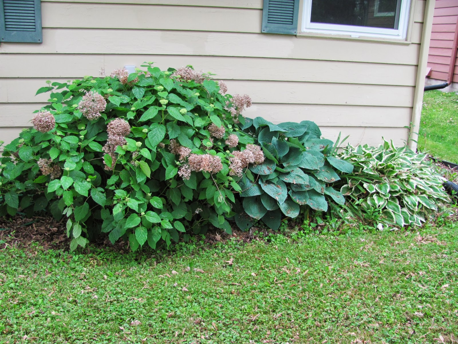 Flowering hydrangea and large hostas at our old house