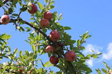 Apples not quite ready at Jordan Pond.