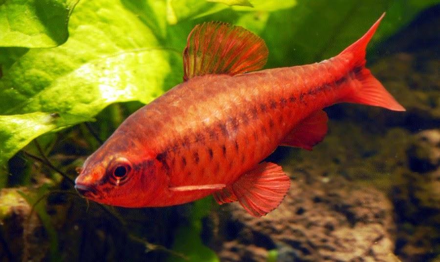 Puntius titteya ley titteya cherry barb for Cherry barb fish