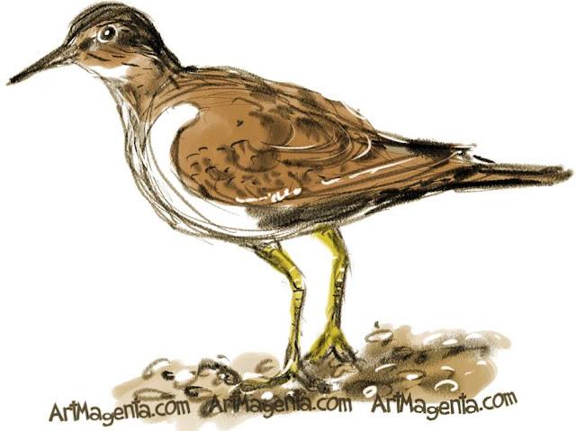 Common Sandpiper sketch painting. Bird art drawing by illustrator Artmagenta.