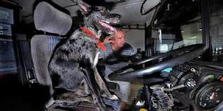 Heboh !!!! Anjing Sakti Bisa Menyetir Bus
