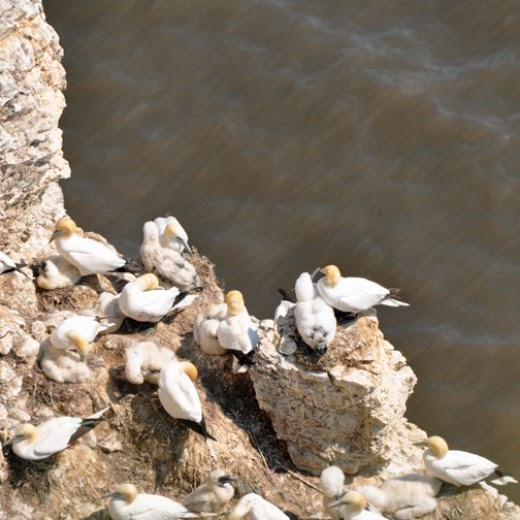 gannets at RSPB Bempton Cliffs Yorkshire