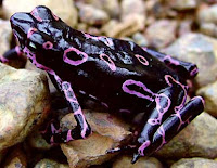 Weirdest Frogs On Earth Atelopus Frog
