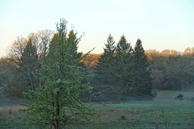 pine trees next to (in?) the prairie