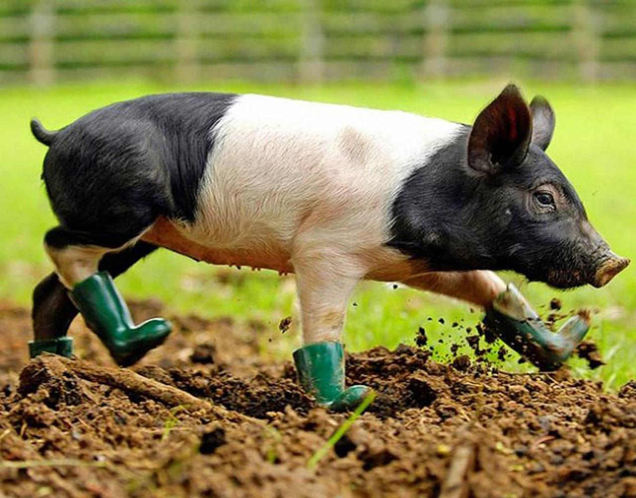 best Pig wallpapers images on Pinterest