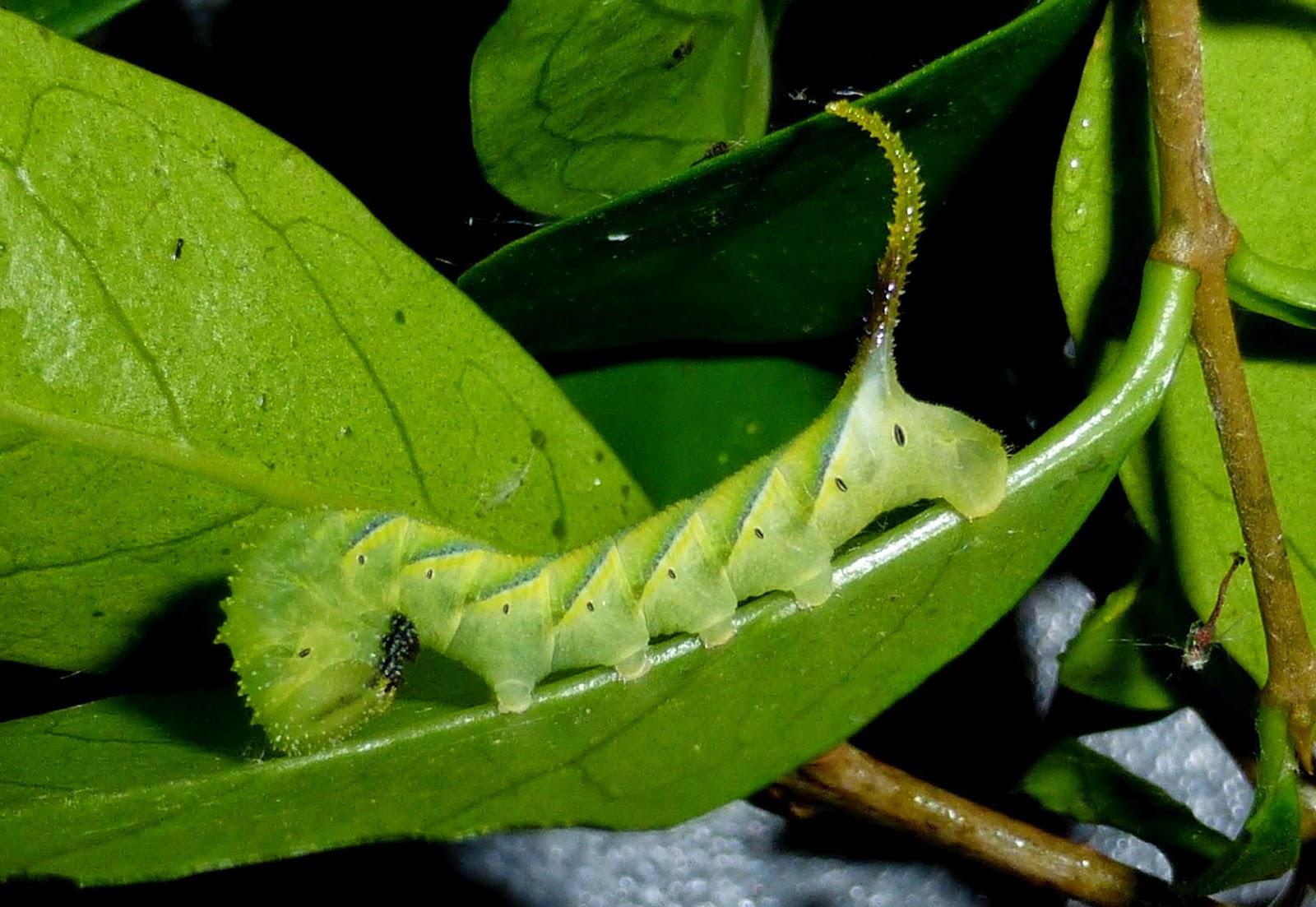 Acherontia atropos caterpillar L3