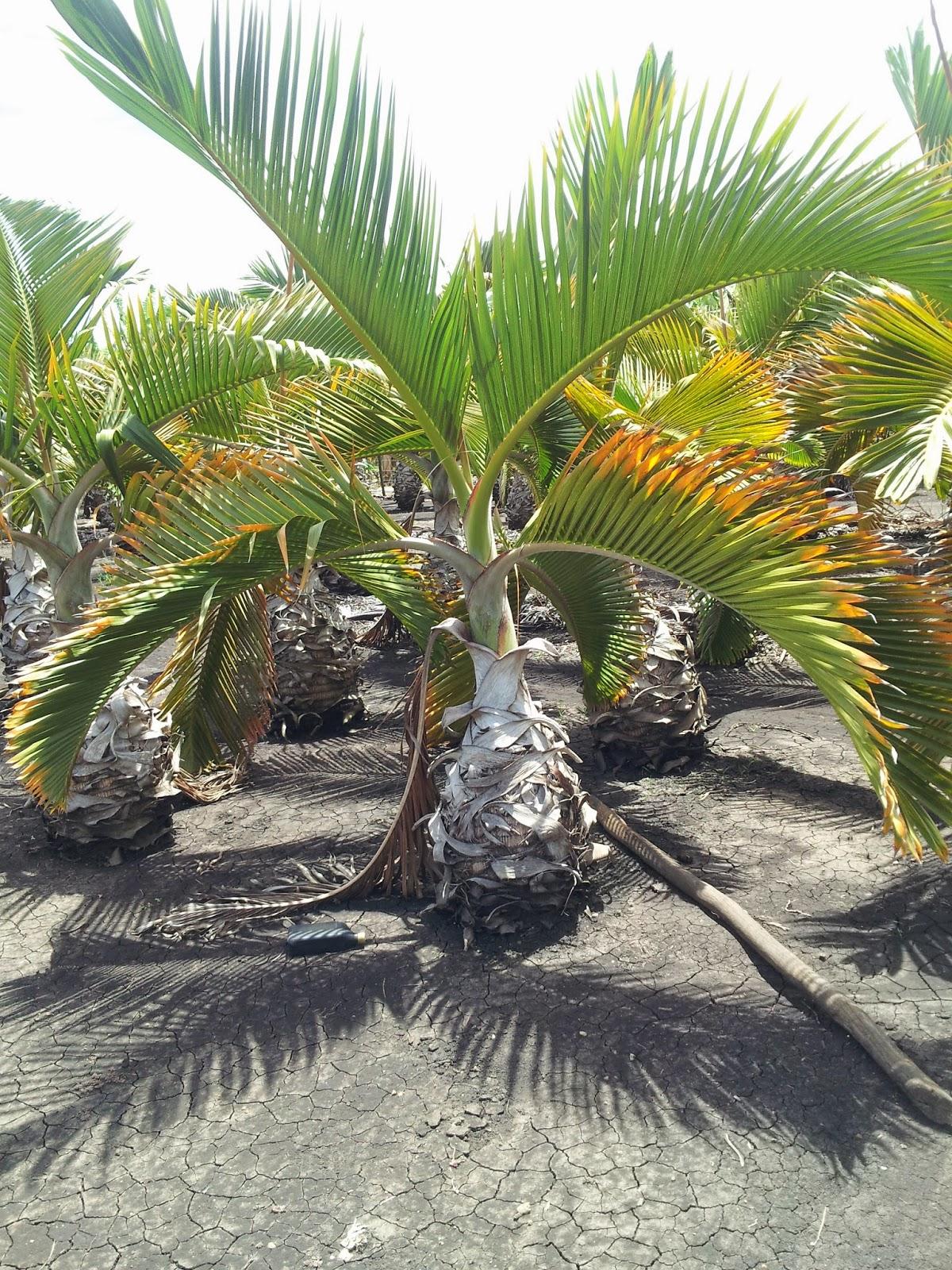 palmas ornamentales palma botella