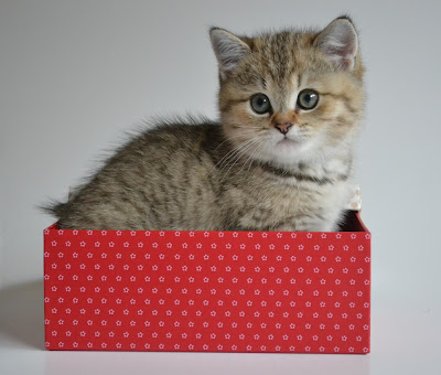 Blach golden tabby British shorthair kitten