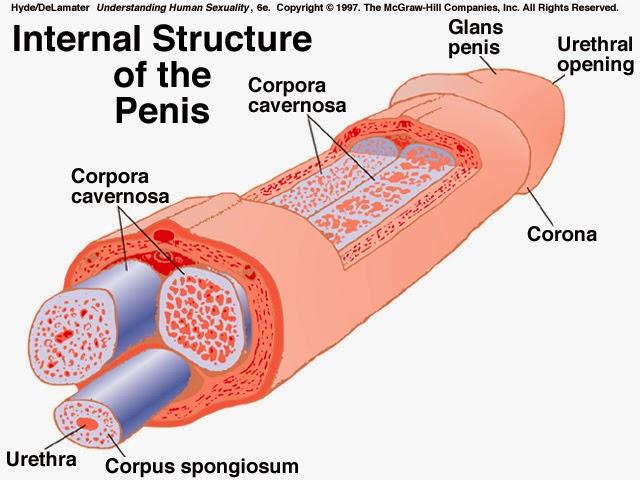 penis verkleinern