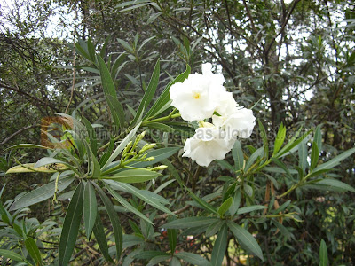 Laurel de Jardín