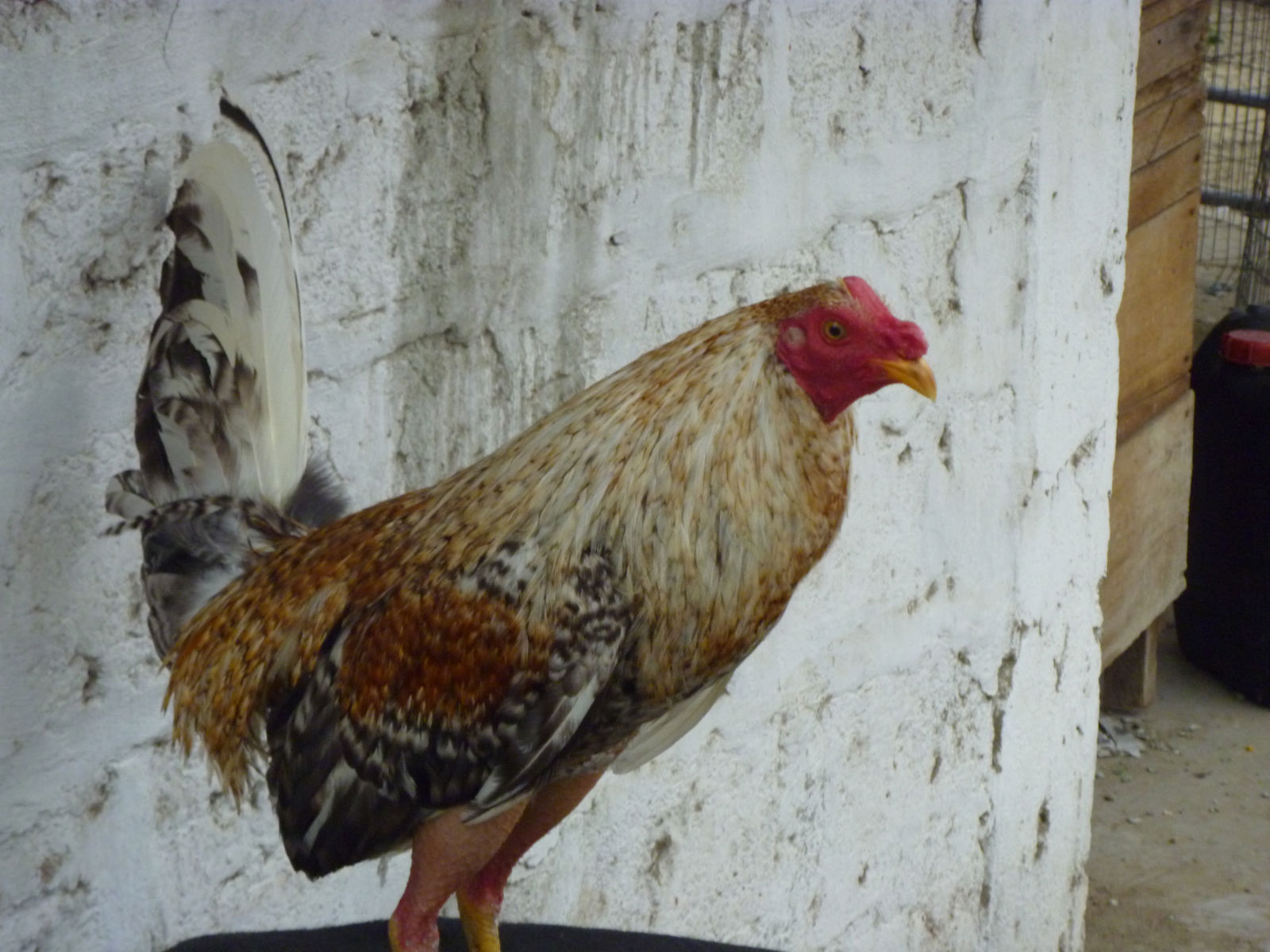 Fotos de gallos de gene batia 19