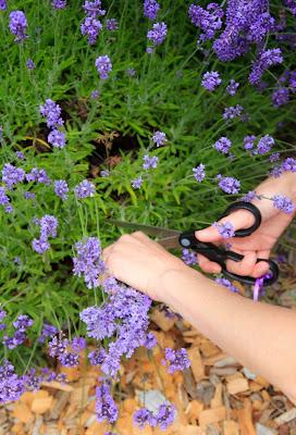 Harvesting Lavender at Pelindaba Lavender Farm