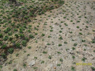 tips cara tanam rumput gajah mini