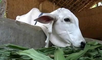 berita unik aneh sapi