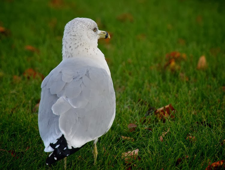 Black-tipped primaries are easily seen on Ring-billed Gulls.