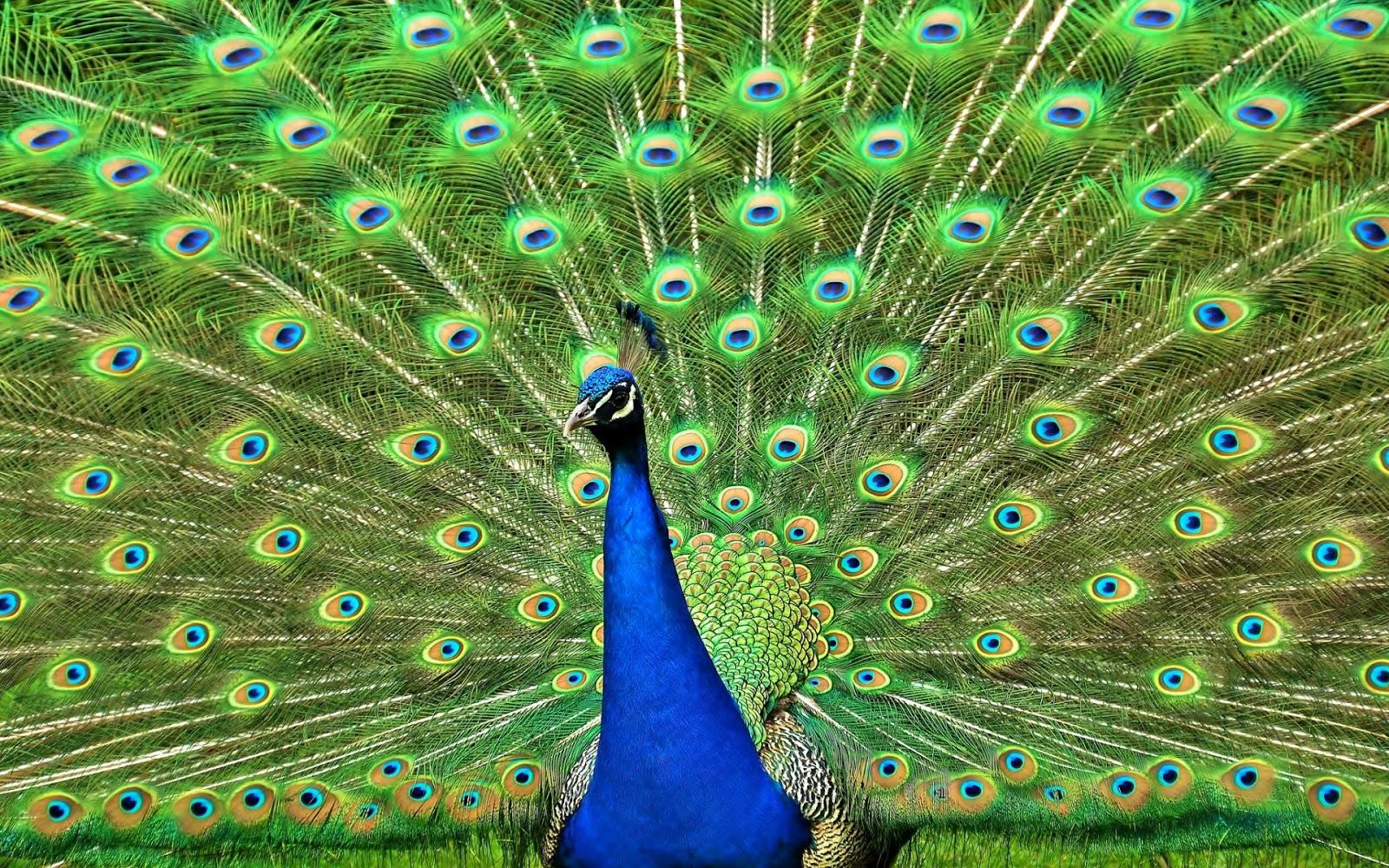 Im genes de plumas y colas del pavo real fotos e - Fotos de un pavo real ...