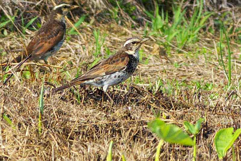 birds, Dusky Thrush