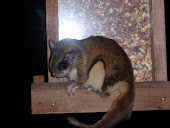 Flying squirrel photo I looked at