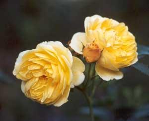 rumena cvetova vrtnic │ gledata skozi ograjo │ in potem eden