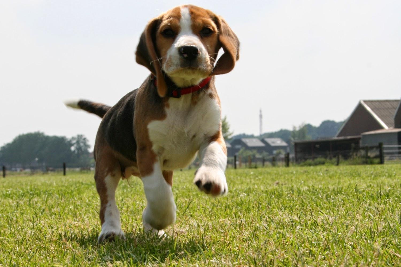 beagle caracteristicas