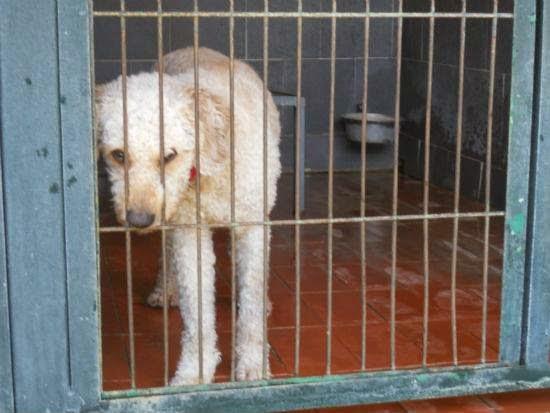 cane adozione Perro de agua