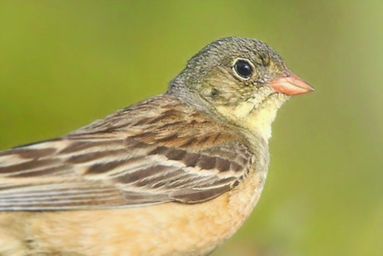 Burung Ortolan di Perancis