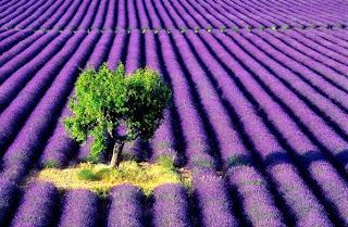 Untuk Peminat Purple