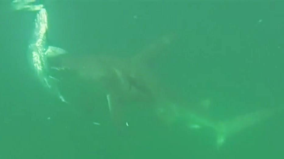 Video of hammerhead shark attacking tarpon
