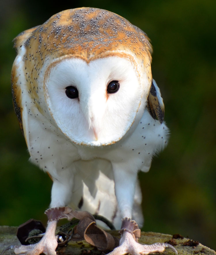 "Head-on shot of a Barn Owl's face -- ""Storm"" from RAPTOR, Inc."