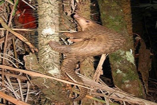 حيوان أم قرفة على شجرة