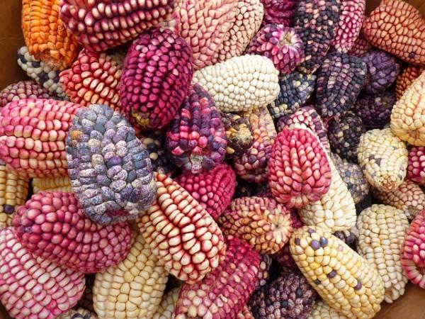 Milho com grãos coloridos modificado geneticamente