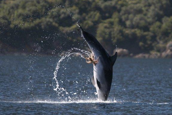 Golfinho polvo