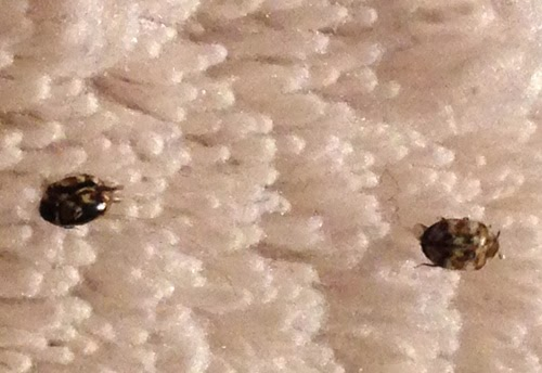 How to get rid of carpet beetles in my bed