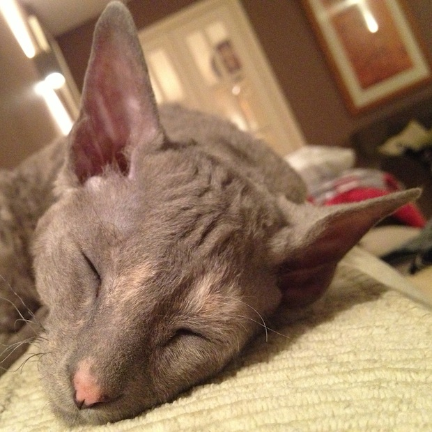 Cornish Rex kitten 15 weeks